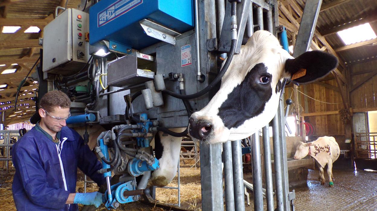 Cage hydraulique avec pédicure bovin en action