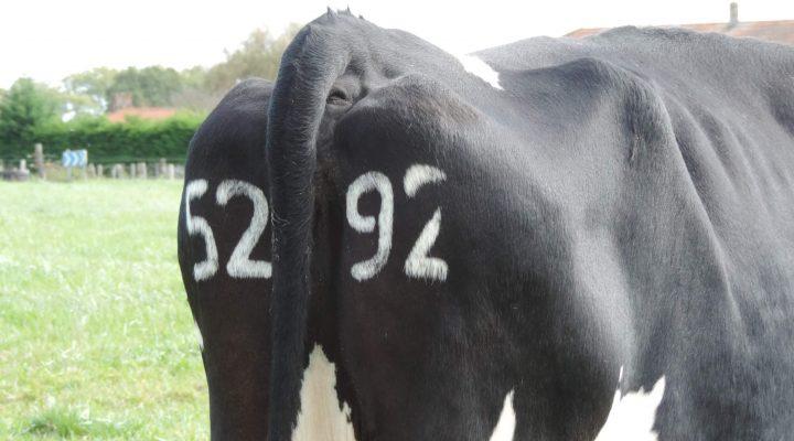 Numéros tatoués sur le cuir de l'animal